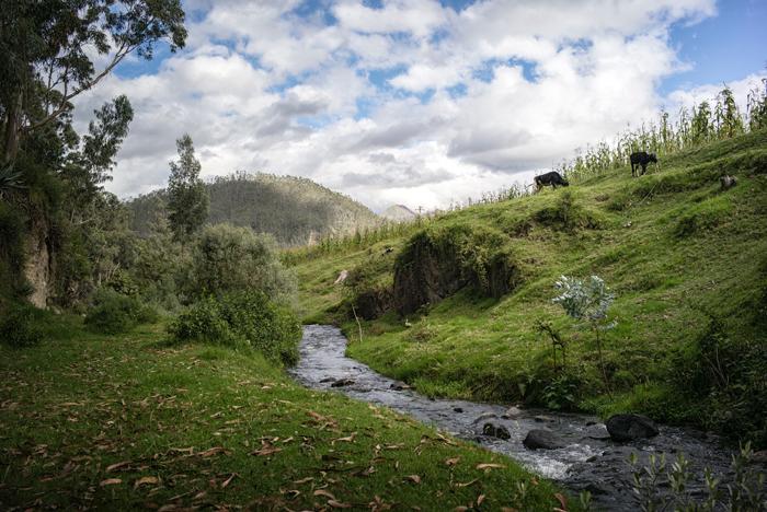 venkovský potok a krávy