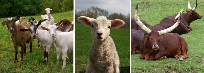 Clean ganado - cabras - cordero - vaca