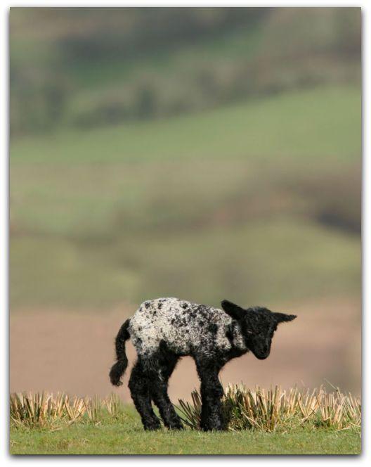 ztracené ovce