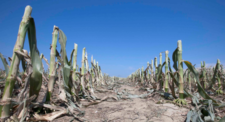 campo de maíz que muestra signos de grave sequía