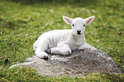 Lamb of Yahuwah