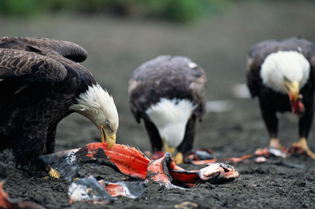 eagles feeding on a carcase