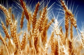 https://media.worldslastchance.com/images/2015/11/05/20125/wheat.jpg