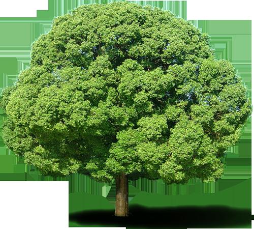 Grand et large arbre feuillu d'un vert profond et éclatant, touffu, au tronc brun marron droit; fond transparent, render, png