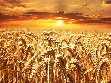 obilné pole při západu slunce