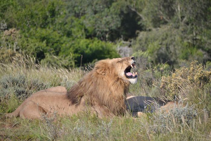 singa mengaum