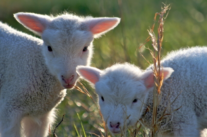 两只小羊羔