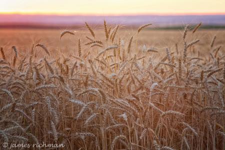 밀 밭 (James Richman 의 허락에 의해 사용된 이미지)