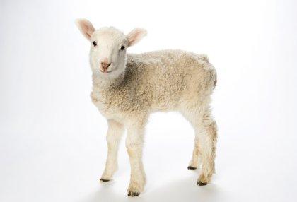 agneau sans défaut, mâle, âgé d'un an, blanc.