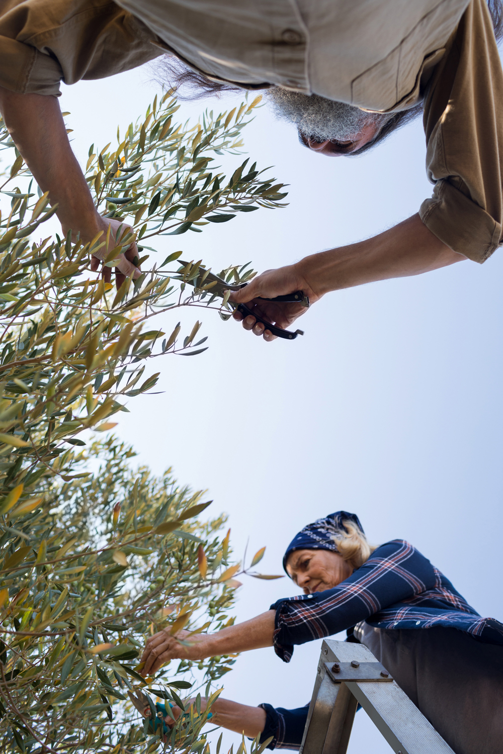 cutting back an olive tree