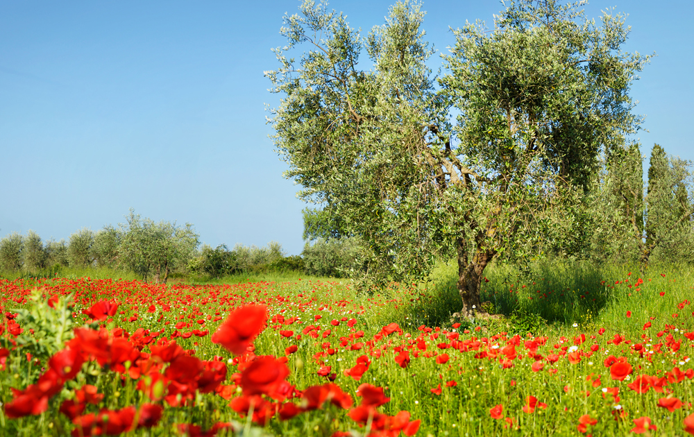olive tree with red poppies