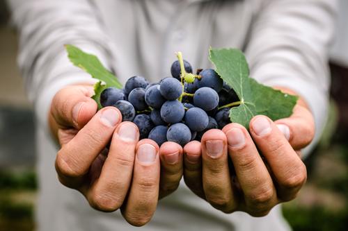 العنب