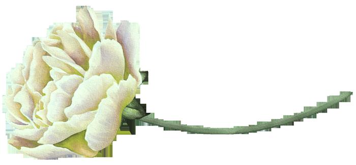 الفاوانيا البيضاء