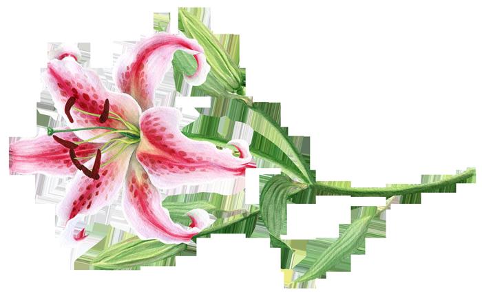 زنبق نجمي