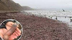Thousands of Strange 'Penis Fish' Wash Ashore on California Beach
